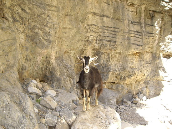 Creta, Grecia: Wild mountain goat in Impros Gorge (very friendly actually!)