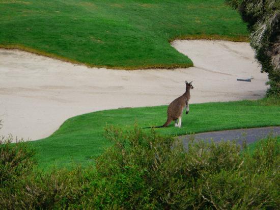 Joondalup Resort: kangaroo by bunker