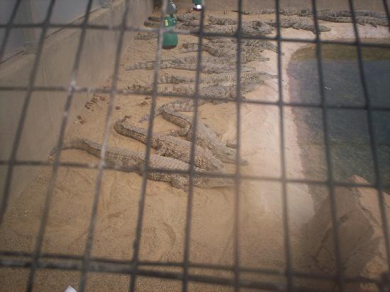 Johannesburg Zoo: them crocodiles looked so still