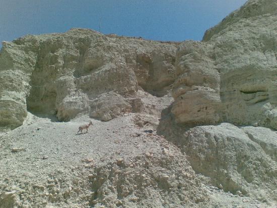Ein Gedi Hotel: Steinböcke am Schlangenpfad nach Masada