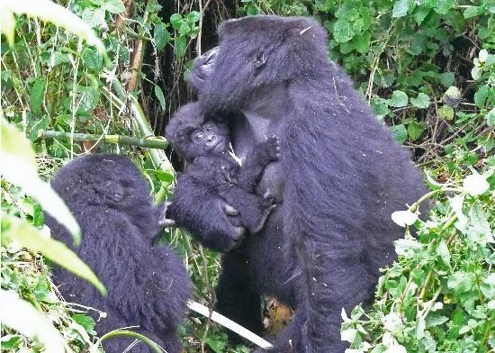 Volcanoes National Park : First Sighting Of Gorillas