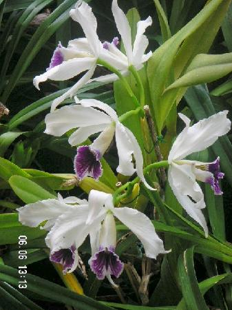 Pregetter's Orchid Garden: Orchid pic 2