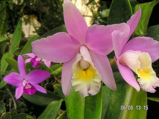 Pregetter's Orchid Garden: Orchid pic 3