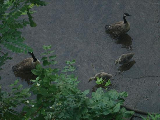 Rosewood Inn: Geese and Ducks below balcony