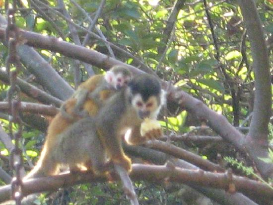 Casa del Chaman : Titi monkey and baby