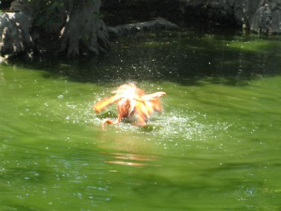 Bahamas: ardastra gardens & zoo