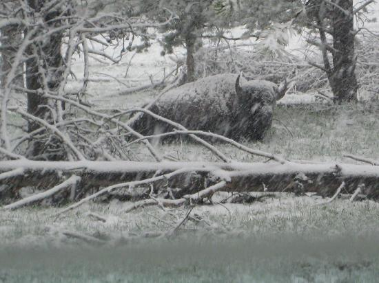 Fishing Bridge RV Park: Bison in the snow