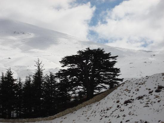 L'Auberge Des Cedres : the beautiful cedar trees