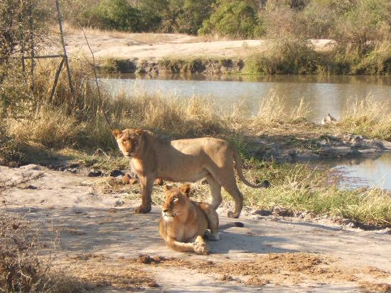 Chitwa Chitwa Private Game Reserve: leonesse