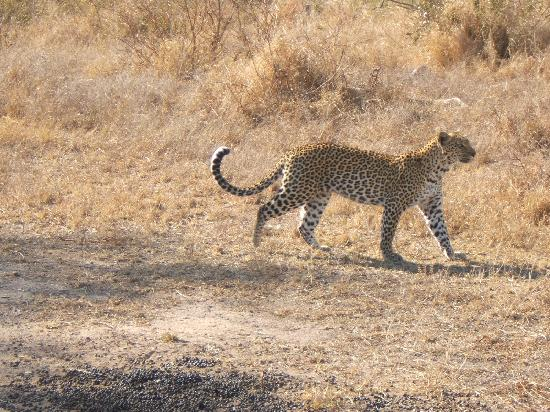Chitwa Chitwa Private Game Reserve: leopardo