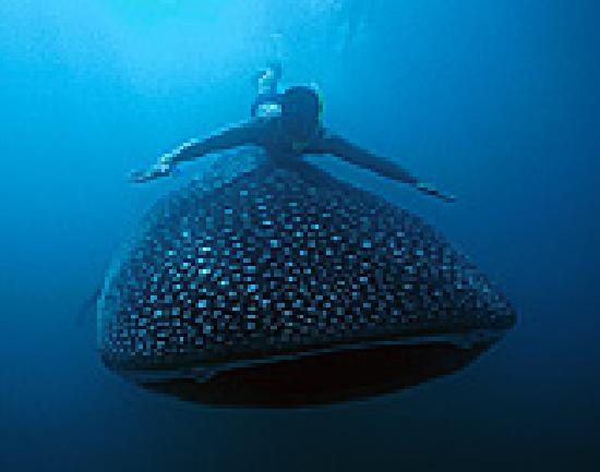 Donsol Whale Shark Interaction: I'm very big