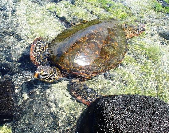 The Beach Villas at Kahalu'u: Turtle Beach
