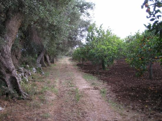 Agriturismo Don Mauro: A stroll past the citrus trees and ancient olive trees on Don Mauro's farm