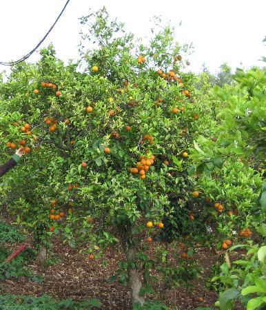 Agriturismo Don Mauro: Sampling the oranges grown on the farm