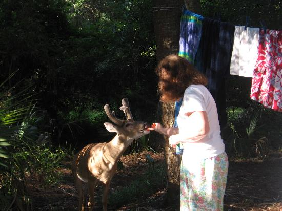 Beaufort, Carolina Selatan: Feeding the Hunting island Deer.