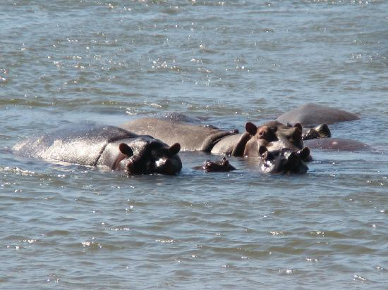 Wilderness Safaris Ruckomechi Camp: Hippos (just in front of room)