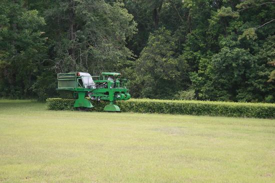 Tea harvest at Charleston Tea Plantation