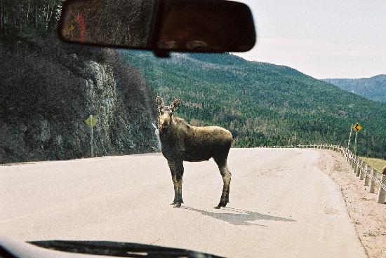 Corner Brook, Kanada: Verkehrspolizei-Elch