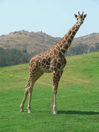 Escondido, Californien: Giraffe