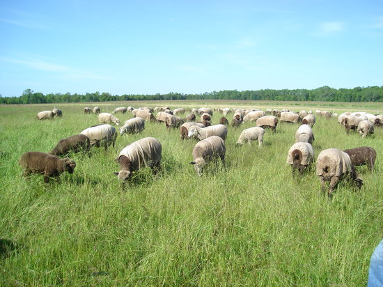 Sturgeon Bay, WI : Sheep herd