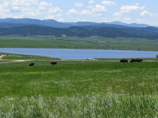 Bear Butte State Park: Bison at Bear Butte
