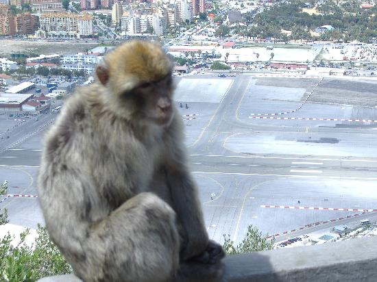 Cannon Hotel: Barbary Apes!