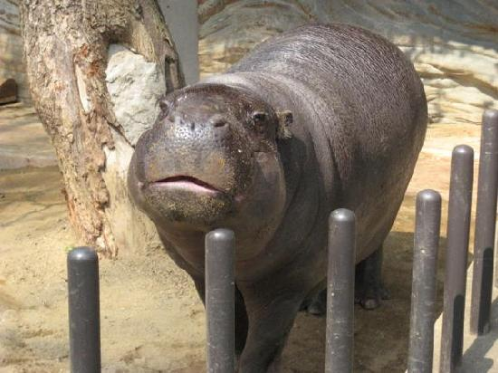 Ueno Zoo: Cutest pygmy hippo ever