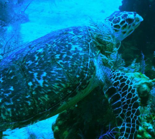 Flamingo Divers: turtle