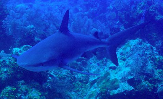 Providenciales: shark