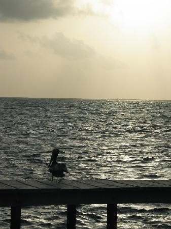 St. George's Caye Resort: Watching Pelicans Dive at Sunrise