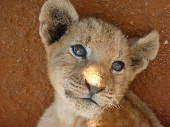 Lion Sands River Lodge: Baby Lion