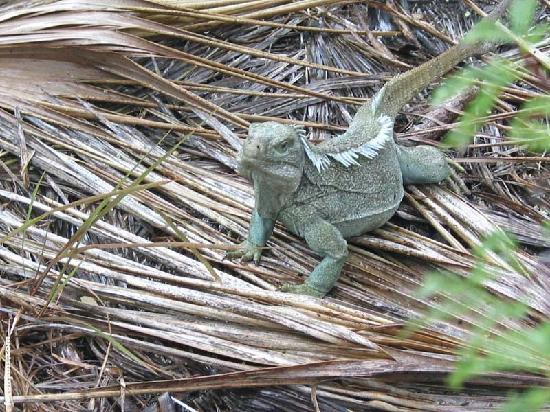 Providenciales: Iguana island's iguana