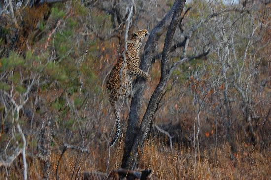 andBeyond Ngala Tented Camp: This leopard was teaching her nearby cub how to hunt (although she didn't get the squirrel).