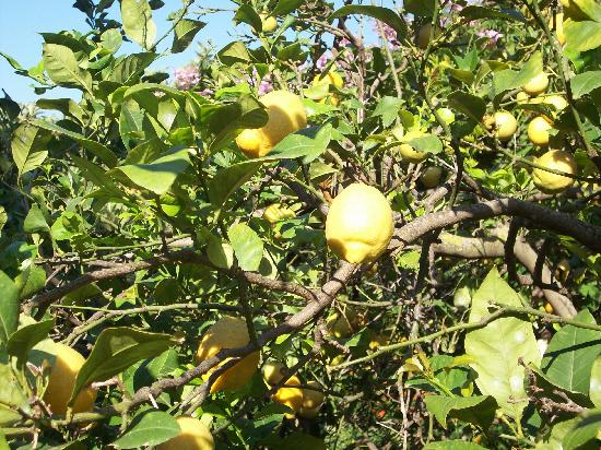 Formentor, a Royal Hideaway Hotel: Lemon tree