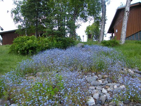 Mt. McKinley Princess Wilderness Lodge: Forget me Nots in grounds