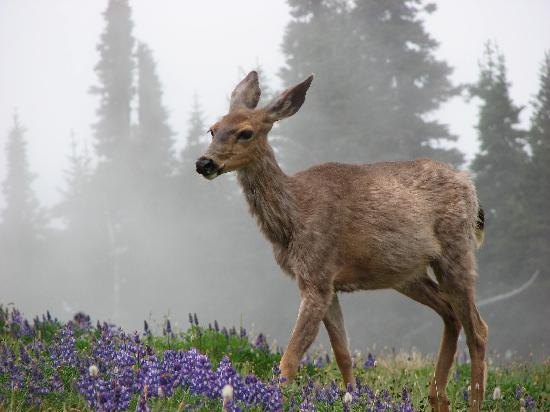 Domaine Madeleine: deer at Hurricane Ridge