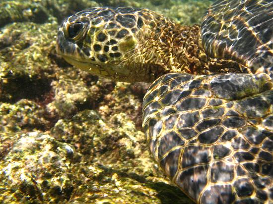 Sealodge at Princeville: Sea turle off the reef at Ke'e