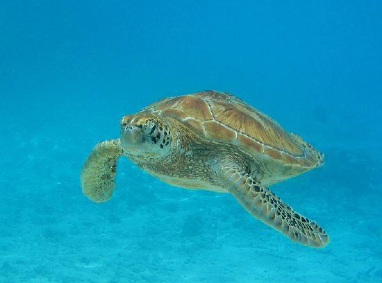 Bora Bora, Französisch-Polynesien: my favorite turtle shot I got in the lagoon