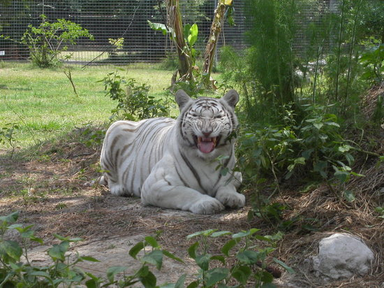 Big Cat Rescue: Giving us the stinky face