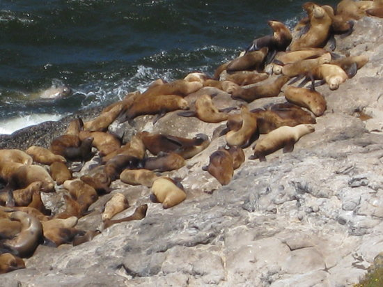 Sea Lion Caves: sea lions