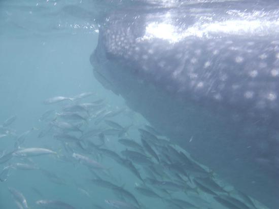 Holbox Hotel Mawimbi: whale shark