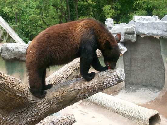 Gatlinburg, TN: Bear feeding in habitat