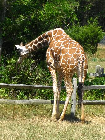 Cape May County Park & Zoo: Giraffe