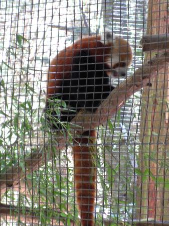 Cape May County Park & Zoo: Red Panda