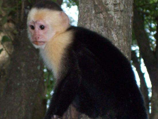 Allegro Papagayo : This is one of the white face monkeys that my kids fed on the beach.