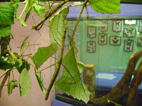 Victoria Bug Zoo: how many stick bugs do you see?