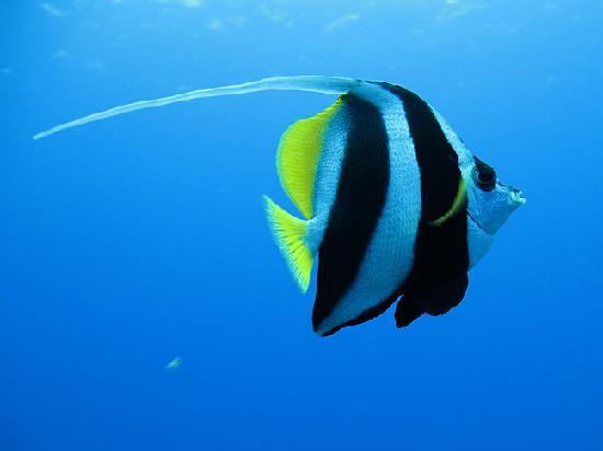 Fish school by my bungalow picture of bora bora pearl for Bora bora fish