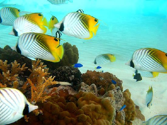 Bora Bora Pearl Beach Resort & Spa : fish school by my bungalow