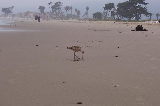 Carpinteria State Beach Campground : Shore bird