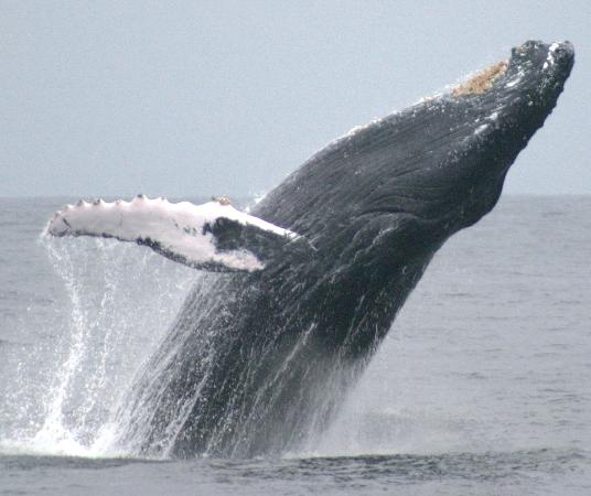 from July thru August watching whales in Puerto Lopez